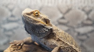 Charlie the Bearded Dragon welcome the Studio Cellar Piano Recital to the Bartlett Nature Center
